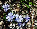 Cichorium intybus ENBLA04.jpg
