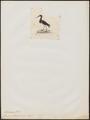 Ciconia abdimii - 1820-1863 - Print - Iconographia Zoologica - Special Collections University of Amsterdam - UBA01 IZ17600047.tif