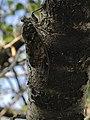 Cigale sur un tronc.jpg