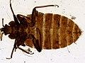 Cimex lectularius (YPM IZ 093673).jpeg