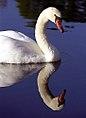 """Cincinnati - Spring Grove Cemetery & Arboretum """"Swan Reflected"""" (4071381764).jpg"""