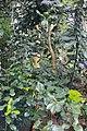Citrus × aurantiifolia.jpg