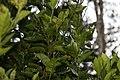Citrus sinensis 8zz.jpg