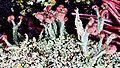 Cladonia peziziformis-10.jpg