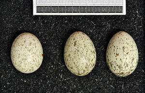 Great spotted cuckoo - Eggs, Collection Museum Wiesbaden