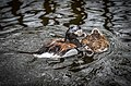 Clangula hyemalis (Long-tailed Duck - Eisente) - Weltvogelpark Walsrode 2012-09.jpg