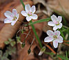 Claytonia virginica spring beauty pink anthers.jpg