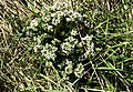 Cochlearia officinalis or Scurvy Grass, Seamill, North Ayrshire.jpg