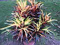 Codiaeum variegatum-1-JNTBGRI-palode-kerala-India.jpg