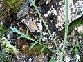 Coincya longirostra StemandLeaf 2009March19 SierraMadrona.jpg