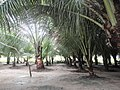 Colônia Terra Nova, Manaus - AM, Brazil - panoramio (11).jpg