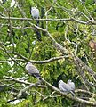 Collared Doves with two chicks (second brood). Streptopelia decaocto - Flickr - gailhampshire.jpg