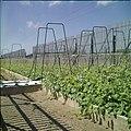 Collectie Nationaal Museum van Wereldculturen TM-20029595 Komkommerplanten bij een teler Aruba Boy Lawson (Fotograaf).jpg