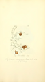 Coloured Figures of English Fungi or Mushrooms - t. 417.png