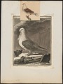 Columba domestica var. turbita - 1700-1880 - Print - Iconographia Zoologica - Special Collections University of Amsterdam - UBA01 IZ18900175.tif