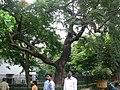 Colville's glory tree (1095554132).jpg