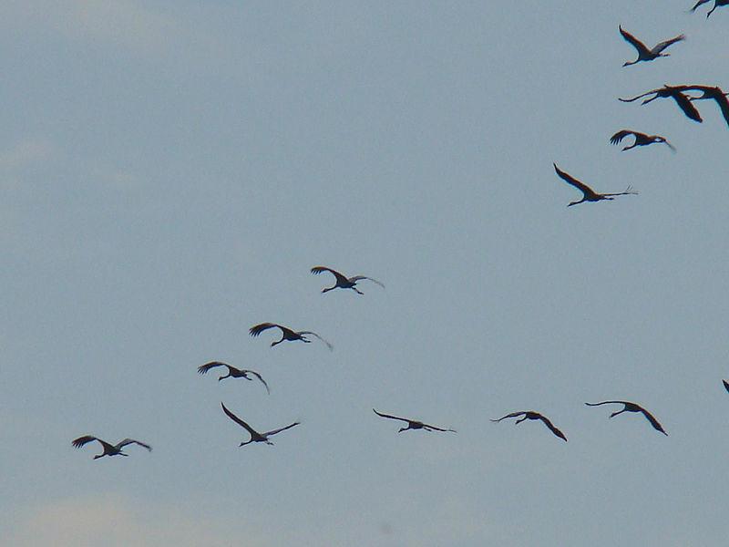 File:Common Crane-Mindaugas Urbonas-3.jpg