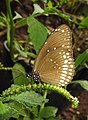 Common Crow Euploea core on Heliotropium by Dr. Raju Kasambe DSCN3099 (2).jpg