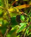 Common Green Darner (Anax junius) (42971103741).jpg