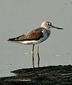 Common Greenshank Tringa nebularia by Dr. Raju Kasambe DSC 2148 (2).jpg