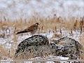 Common Kestrel (Falco tinnunculus) (31466025538).jpg