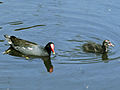 Common Moorhen SMTC.jpg