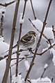 Common Redpoll 408 (39251679450).jpg