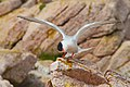 Common Tern Wings Spread (4856995864).jpg
