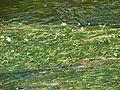 Common Water Crowfoot - geograph.org.uk - 195096.jpg