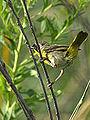 Common Yellowthroat (7654700552).jpg