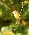 Common Yellowthroat 4.jpg