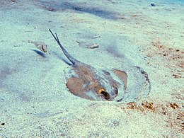 ... Common stingray - with amazing Common stingray photos and facts on