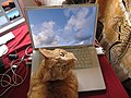 Computer Using Cat.jpg
