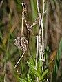 Conehead Mantis (Empusa pennata) nymph - Flickr - berniedup.jpg