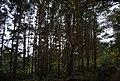 Conifers, Saxon Wood - geograph.org.uk - 2186827.jpg