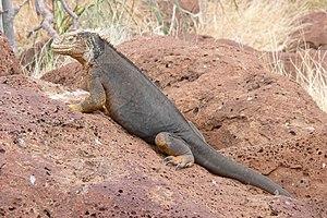 Drusenkopf (Conolophus subcristatus) on Seymour Norte