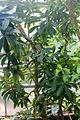 Conservatoire botanique national de Brest-Badula balfouriana-15 07 01-ClaudePERON (20032815500).jpg