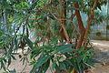 Conservatoire botanique national de Brest-Tournefortia bojeri-15 08 02-Philweb7 (20211765116).jpg