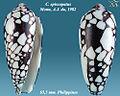 Conus episcopatus 6.jpg