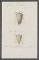 Conus lividus - - Print - Iconographia Zoologica - Special Collections University of Amsterdam - UBAINV0274 086 09 0010.tif