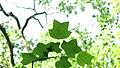 Copacul Lalea - Parcul Central - Bistrita (684234622).jpg