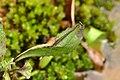 Copera vittata Blue Bush dart from Anaimalali hills DSC 2084 .jpg