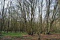 Coppicing, Green Wood (2) - geograph.org.uk - 1252956.jpg