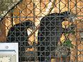 Coracopsis vasa -Ludwigsburg Castle-6a.jpg