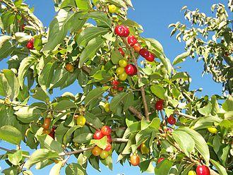 Cornus mas - Branch with fruit