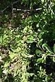 Cornus mas, familija Cornaceae 09.jpg