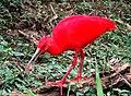 Corocoro rojo (Eudocimus ruber).jpg