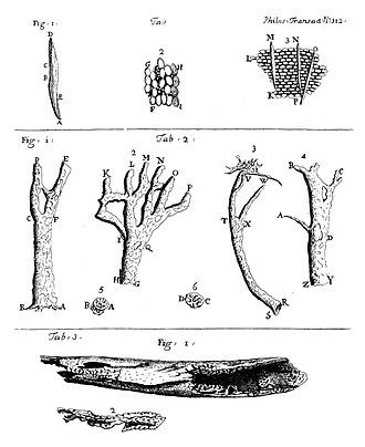 Cinchona - Cortex peruvianus study by Antonie van Leeuwenhoek, 1706.