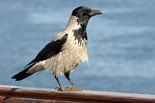 Hooded crow , light colored