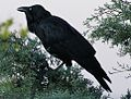 Corvus coronoides with throat feathers out.jpg